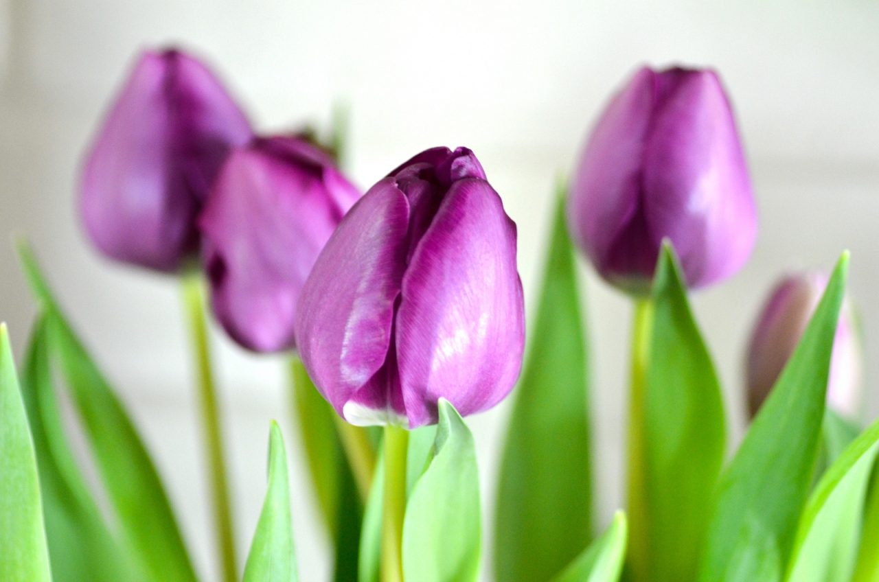 bouquet tulipe violette