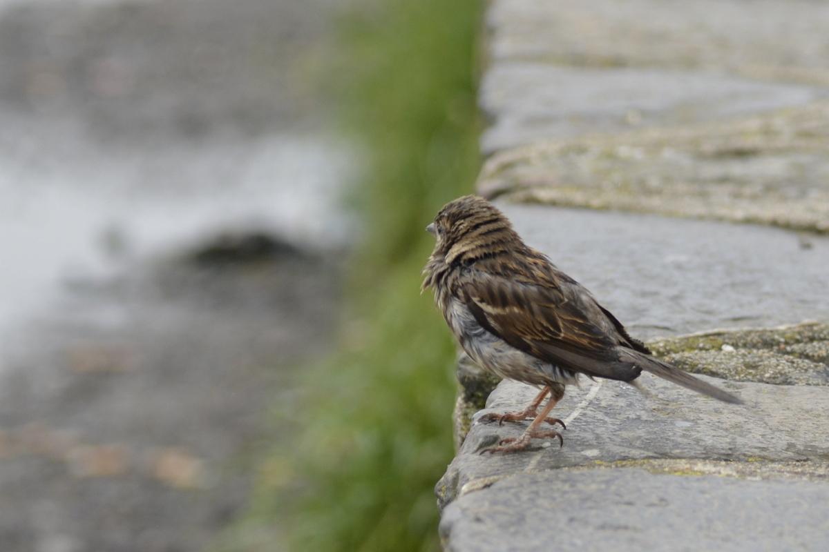 oiseau mont saint michel